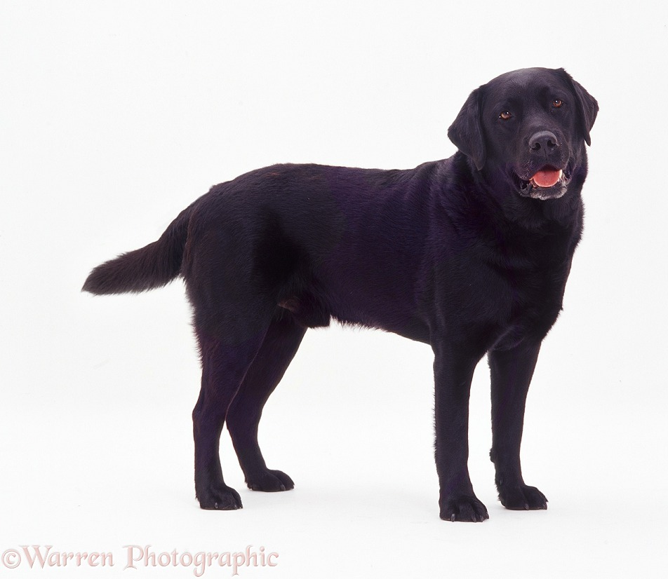 Black Labrador dog Murphy standing, tail wagging, white background