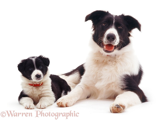 Black-and-white Border Collie bitch Phoebe, with a puppy, white background