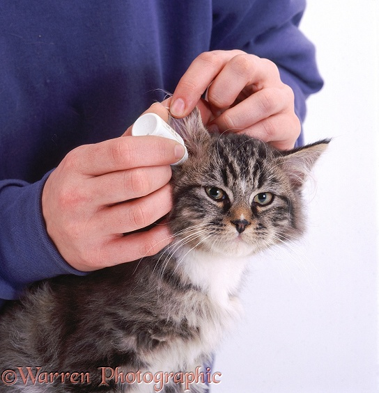 Putting drops in a cat's ear, white background