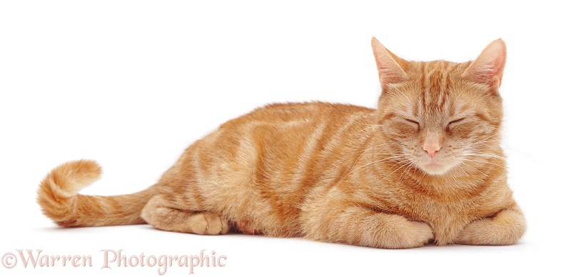 Sleepy ginger female cat Lucky, white background