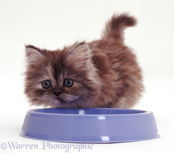 Persian kitten, 7 weeks old, at blue food bowl, white background