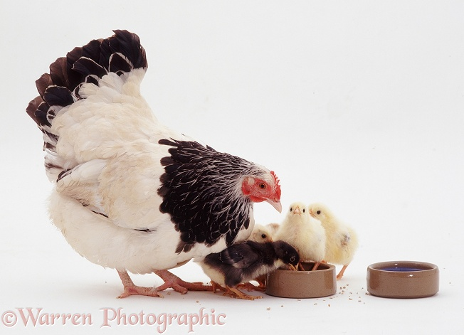 Light Sussex bantam hen with her week old chicks drinking from a water pot 1, white background