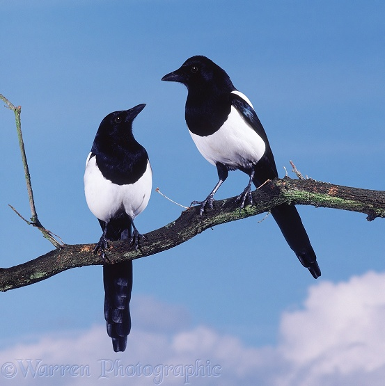 Magpie (Pica pica) pair.  Europe, Asia and N. Africa