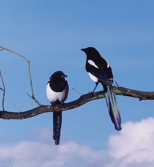 Magpie (Pica pica) pair.  Europe, Asia and N. America