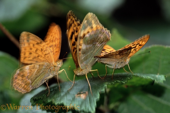 Silver-washed Fritillary (Argynnis paphia) mated pair being harrased by unattached male.  Europe