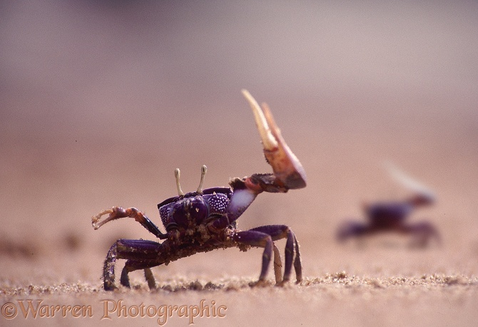 Fiddler Crab (Uca tangeri) male using its enlarged claw for territorial display.  Eastern Atlantic