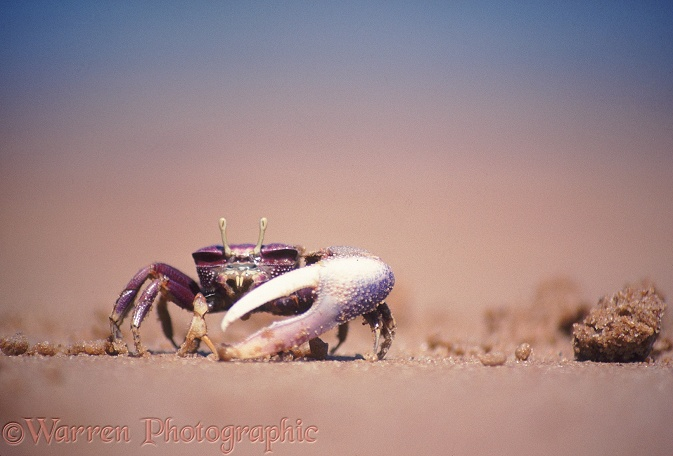 Fiddler Crab (Uca tangeri) male using its small claw to feed on particles in sand.  Sierra Leone, Africa