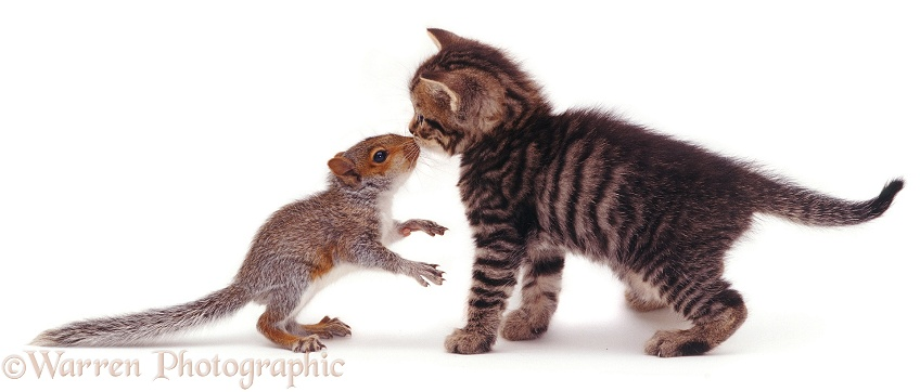 Baby Grey Squirrel and brown striped or mackerel tabby kitten, white background