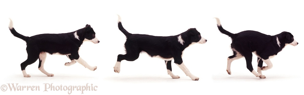 Multiple image of black-and-white Border Collie bitch pup Fly, 12 weeks old, running, white background
