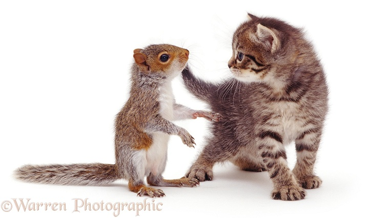 Wp08139 baby grey squirrel and tabby kitten