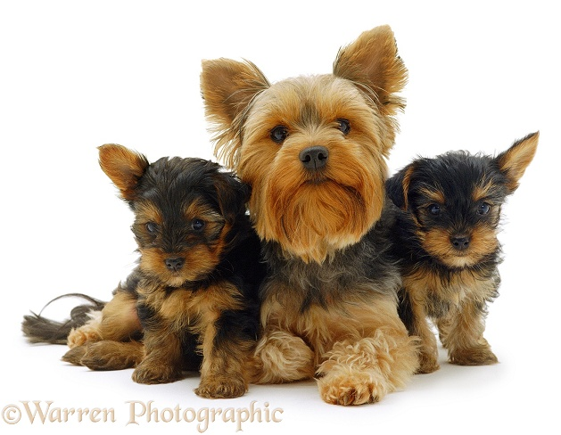 Yorkie and pups, white background