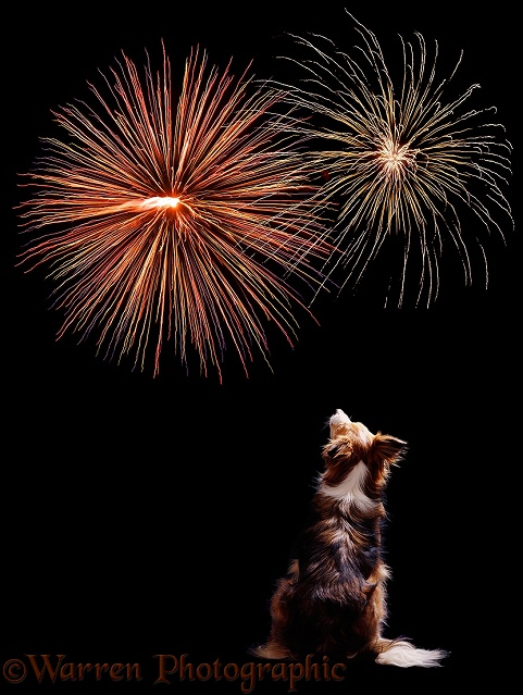 Border Collie dog Bobby watching fireworks