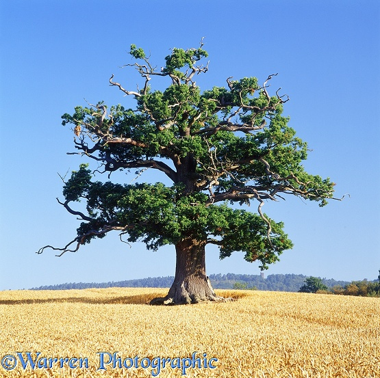 English Oak (Quercus robur) in a field of wheat. Summer 2004.  Surrey, England