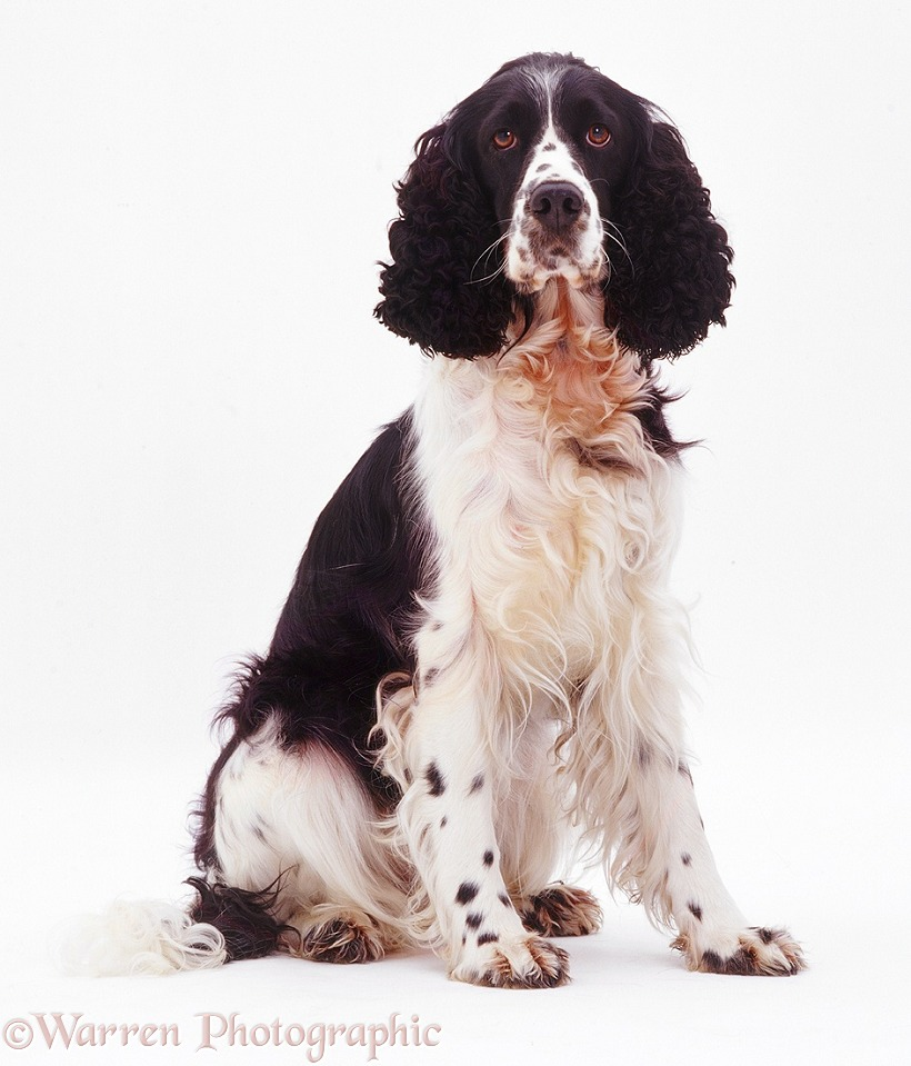 English Springer Spaniel, white background