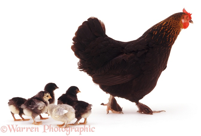 Hen and chicks, white background