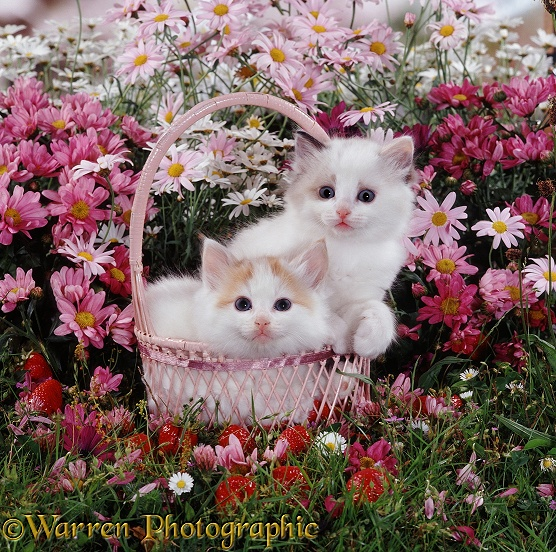 Ragdoll-cross kittens in a strawberry basket after emptying out the strawberries