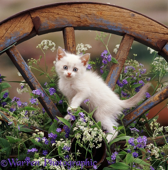 A colourpoint Hyacinth kitten, 8 weeks old, on an old wagon wheel. With flowering Hedge Parsley