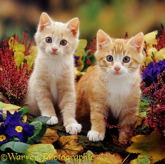 Cream and ginger kittens (Apollo II and Monty) among purple primulas, winter heaths and fallen currant leaves