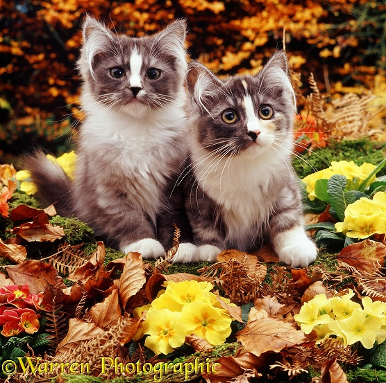 Two grey 'stripe-nose' Chinchilla-cross kittens among primulas and autumnal beech leaves