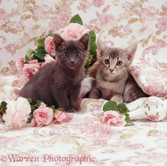 Ryissa's smallest and largest kittens, Minimus (dark blue) and Maximus (blue ticked tabby), 7 weeks old, have been playing with vases of pink roses