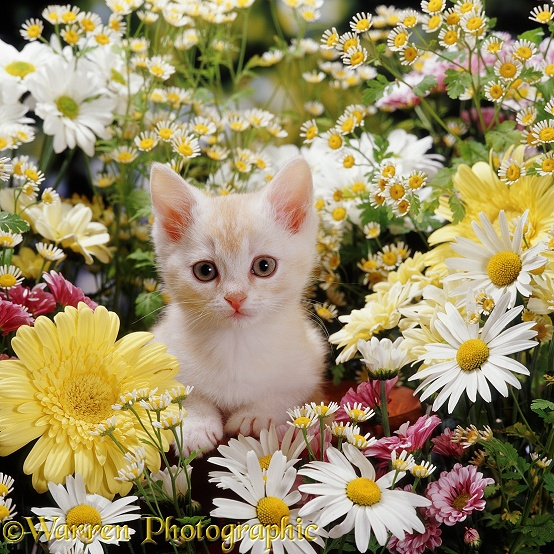 Cream 'Burmilla' kitten among cream, yellow, white and pink daisies and Feverfew