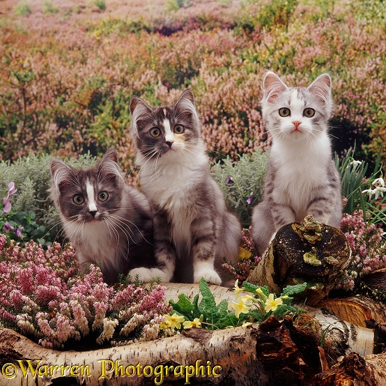Three Chinchilla-cross kittens (a silver bicolour and two grey 'stripe-nose') among winter heaths, primroses and snowdrops