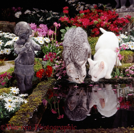 White and silver-spotted tabby cats drinking at a garden pond