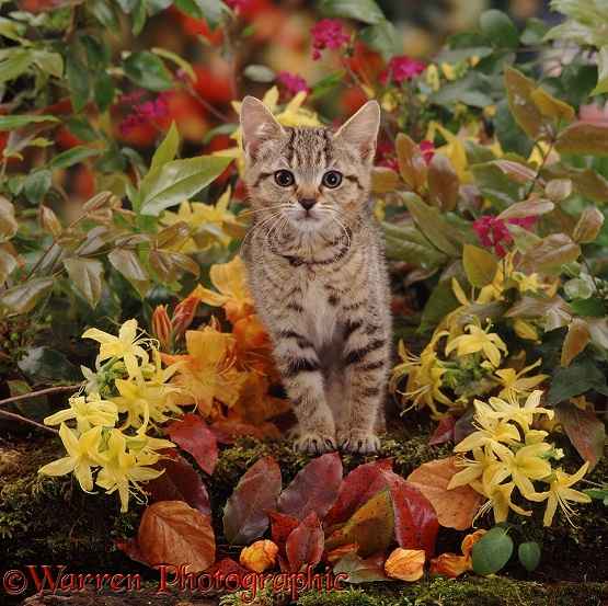 Tabby female kitten, 8 weeks old, among yellow Azaleas