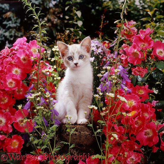 Tabby-and-white Devon Rex-cross female kitten Minouche among American Pillar roses, with Feverfew and bellflowers