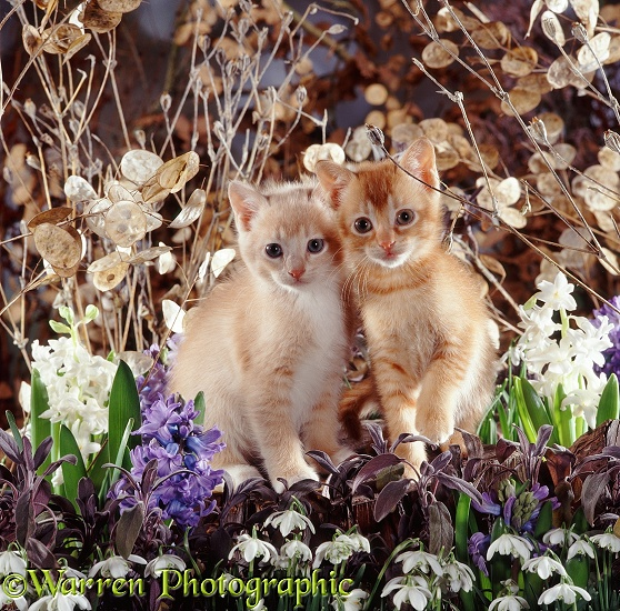 Cream kitten with his red brother, 7 weeks old, with flowering snowdrops and hyacinths, seeding honesty and campions