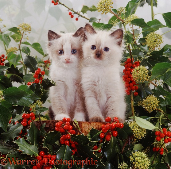 Ragdoll-cross kittens (Goggles x Specs), 7 weeks old, among holly berries and flowering ivy