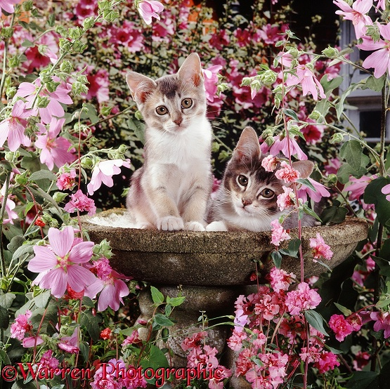 Grey Burmese-cross kittens, brother and sister, 9 weeks old, in an empty birdbath, among pink mallow flowers and Clarkia Double