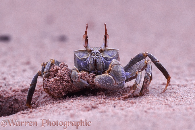 Sand Crab (Ocypode species) excavating its burrow.  Kenya