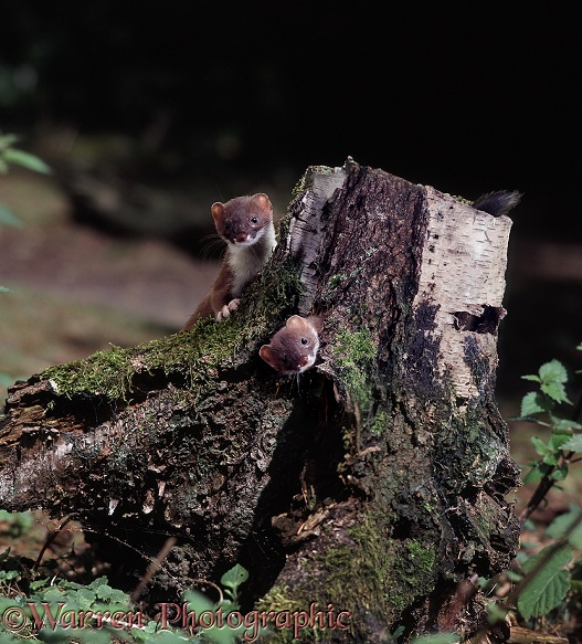 Stoats (Mustela erminea) playing around a rotten birch stump.  Europe, Asia
