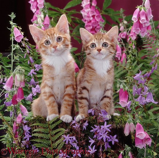 Red male and ginger female spotted tabby kittens, 10 weeks old, among foxgloves and campanulas