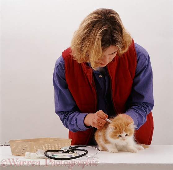 Vet giving a fluffy ginger-and-white kitten his primary vaccination at 9 weeks old, white background