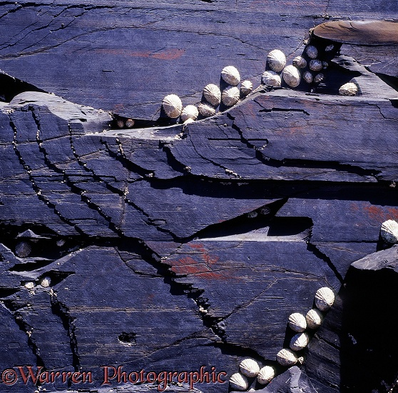 Slate rock with limpets.  County Clare, Ireland
