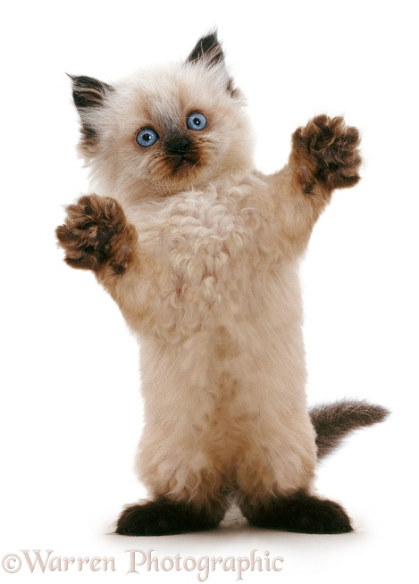 Playful Birman-cross kitten reaching out, white background