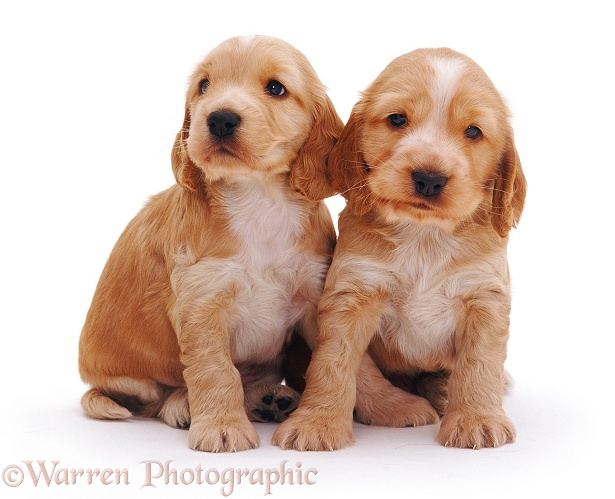 WP08253 Golden Cocker Spaniel puppies Golden Cocker Puppies