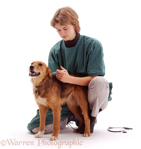 Vet, Rachel, giving annual booster vaccination to Lakeland Terrier x Border Collie Bess, 2 years old, white background