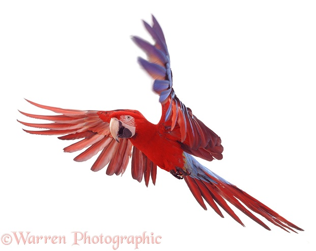 Green-winged Macaw (Ara chloroptera), white background