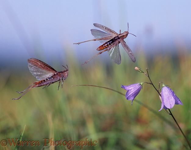 Common Field Grasshoppers (Chorthippus brunneus) escaping from danger.  Europe