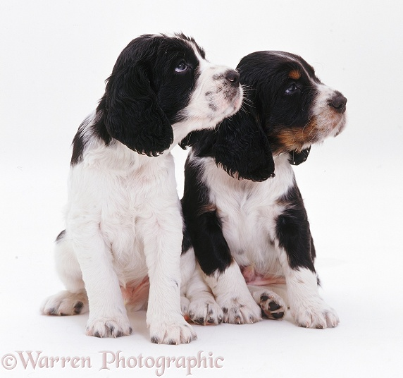 English Springer Spaniel pups, white background