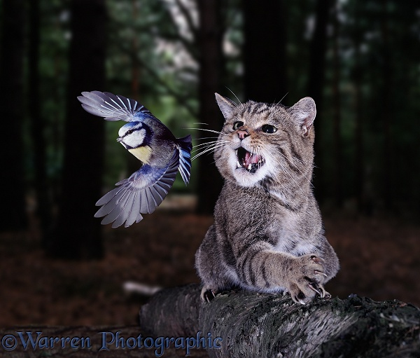 Wild Cat (Felis silvestris) attempting to catch a Blue Tit (Parus caeruleus).  Europe, Asia