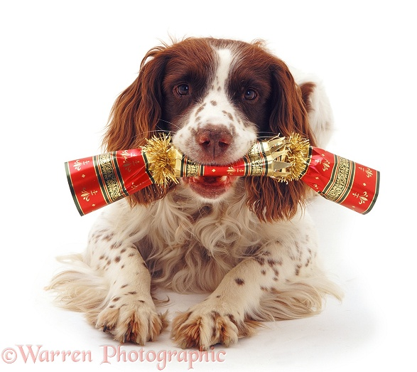 English Springer Spaniel dog, Rob, with Christmas cracker, white background