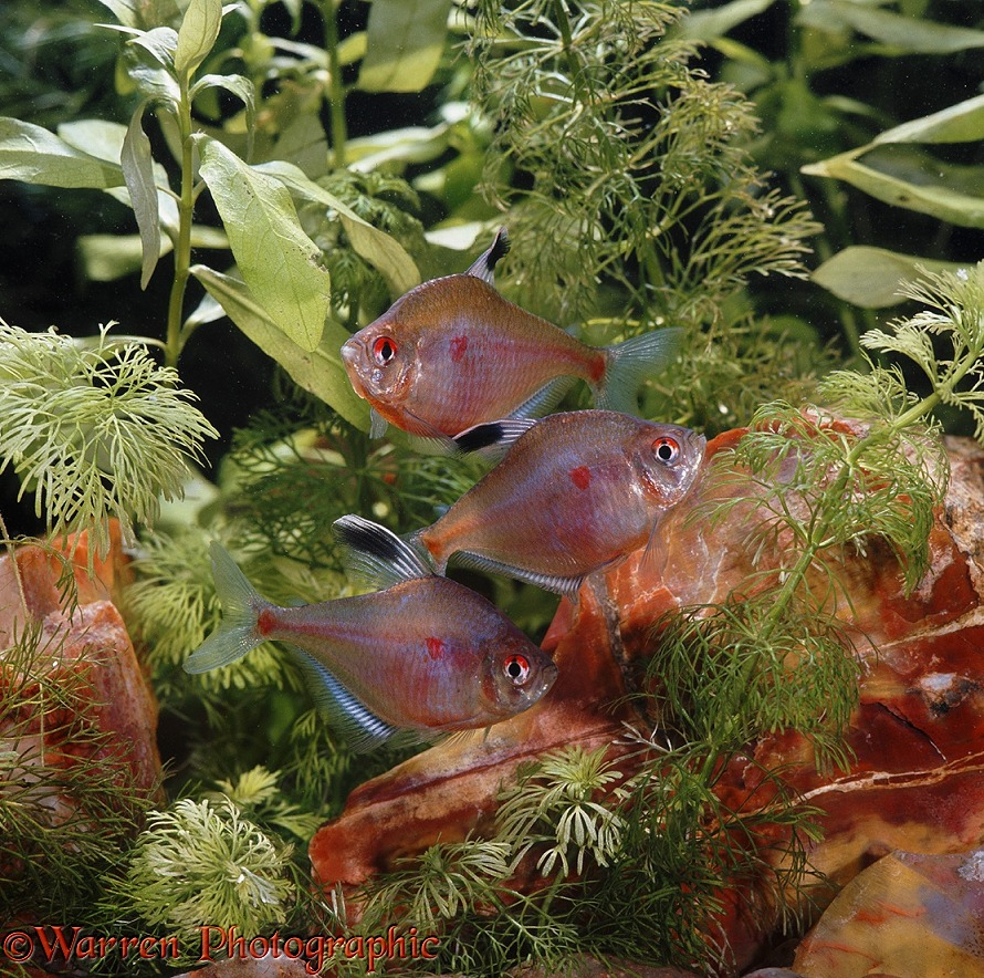 Bleeding Heart Tetras (Hyphessobrycon rubrostigma).  Amazon Basin