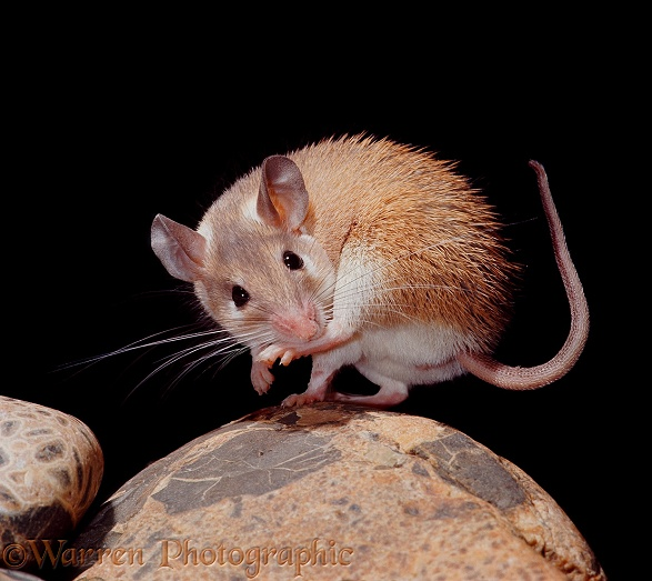 Egyptian Spiny Mouse (Acomys cahirinus) female sucking her hind foot.  North Africa