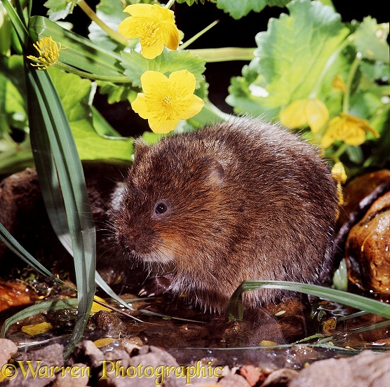 Water Vole (Arvicola terrestris) with kingcups.  Europe