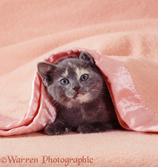 Blue-cream kitten under a pink blanket