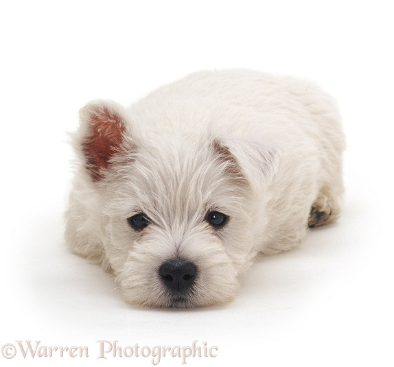 West Highland White Terrier pup, 7 weeks old, white background